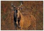 antilopa_Derbyho
